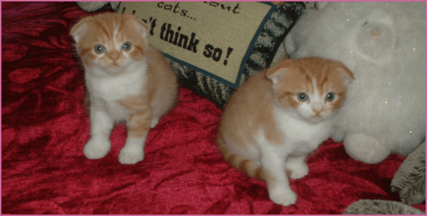 MegaFoldCattery Scottish Fold Kittens