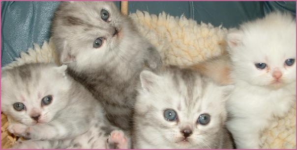 MegaFoldCattery Scottish Fold Kittens