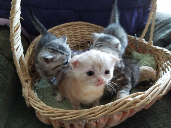 Available Scottish Fold Kittens & Photos |