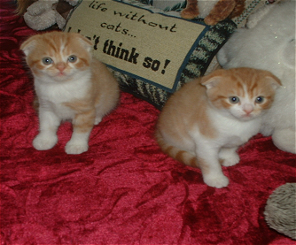 Scottish Fold Cat Breeder - Scottish Fold Kittens & Adult Cats